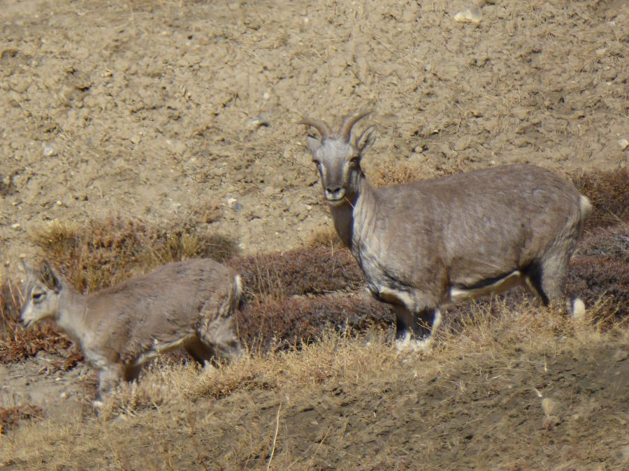 9. We see these Ibex at over 4000m.