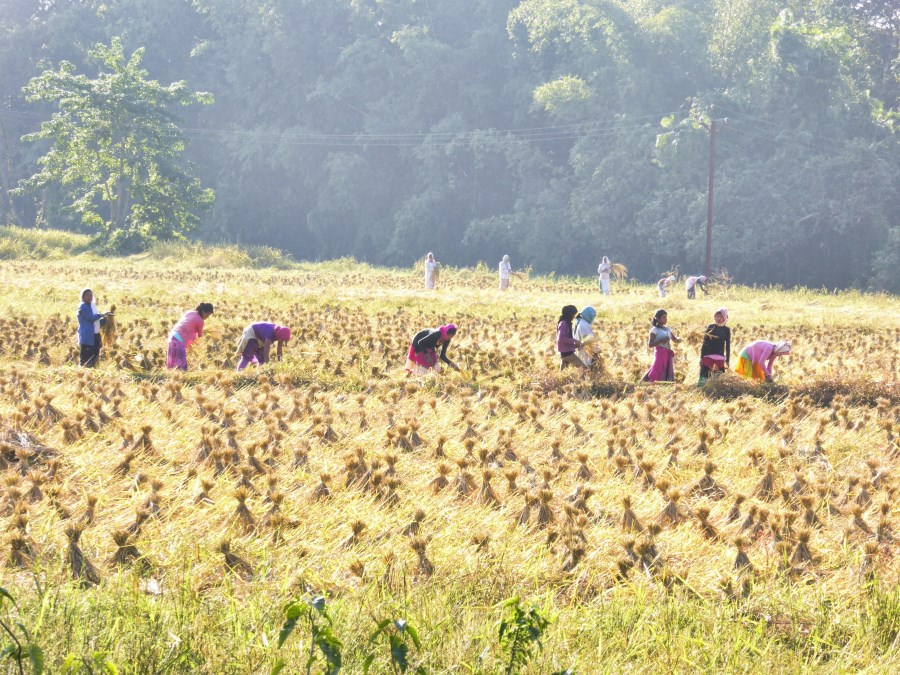 And here they are working in the fields ... rice, maize, mustard ...