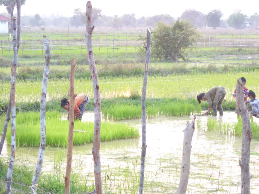 And a family works a rice paddy.